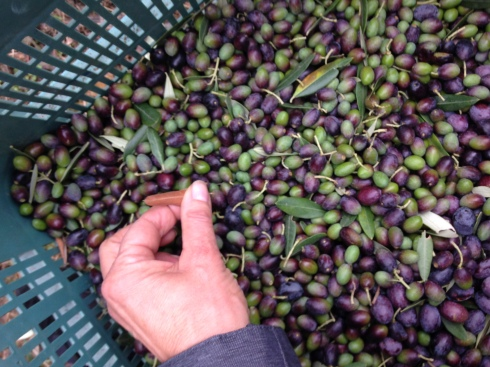 Although some leaves naturally fall with the olives, seasoned olive pickers can pick olives with fewer leaves. We were all pretty careful, and cleaned as we went along. I'm told a few leaves are fine as they impart a good taste. Here I am removing any stray leaves, and here is a penny tiny snail that was clinging to one of the leaves. Picked olives range in size and color; they can be green, purple, yellow or black, and they differ from tree to tree.